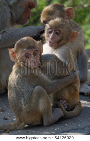 Two baby rhesus macaques