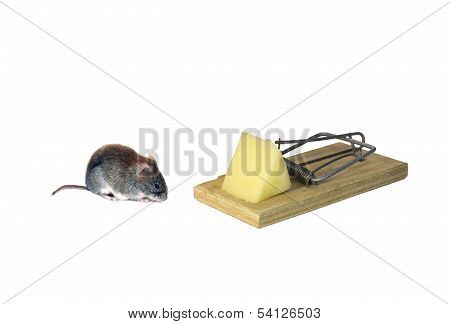 Little Brown Mouse Next To Mousetrap With A Piece Of Cheese Isolated