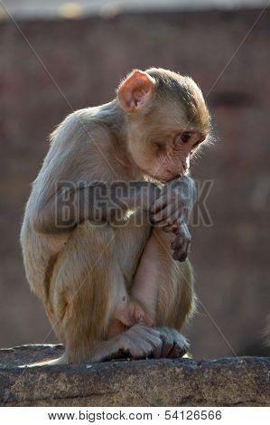 Rhesus macaque looking down