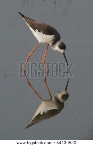 Wading bird and reflection in water