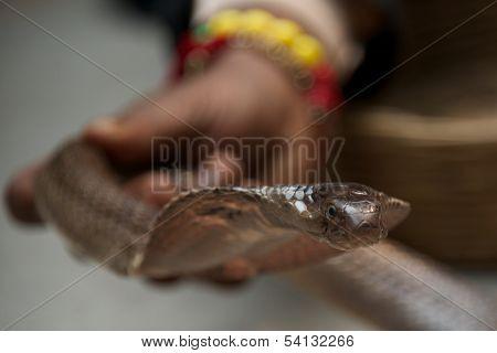 Snake charmer carrying cobra