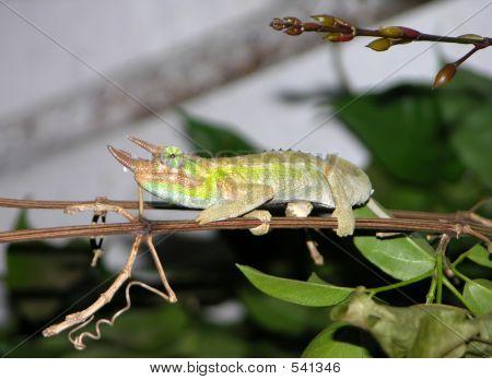 Chameleon, Three Horned