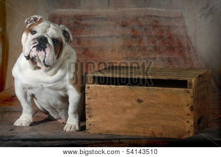 english bulldog sitting looking at viewer - 4 year old male