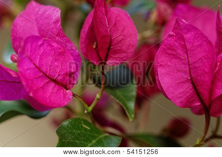 Bougainville Flowers