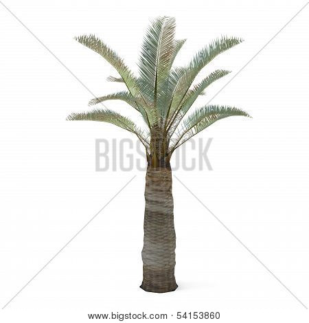 Palm tree isolated. Jubaea chilensi