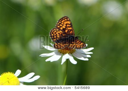 Fritillary Butterfly On Mayweed Flower