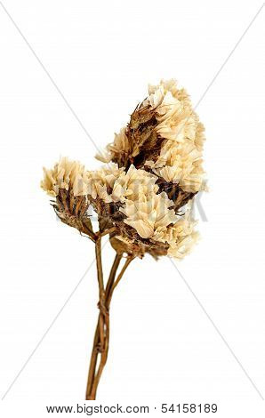 Dry Flower Isolated