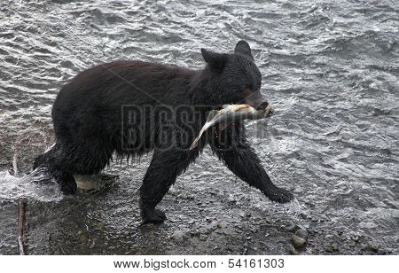Black bear catches fish
