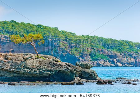 Lone Pine Tree Growing On A Rock Near The Sea