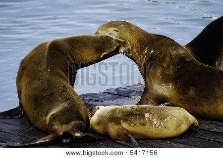 California Sea Lions Off The Coast Of San Francisco