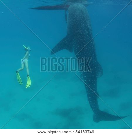Young lady snorkeling and diving on a breath hold with whale shark