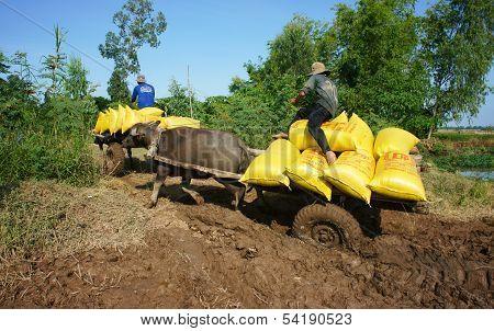Buffalo Cart Transport Paddy In Rice Sack