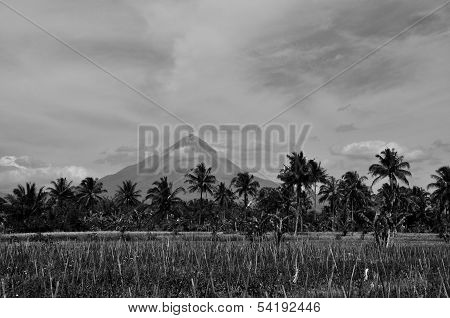 Coconut Trees & Merapi Background