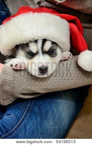 Siberian Husky Puppy On Hands