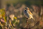 pic of sun perch  - A cute round bird perched on a twig in the sun