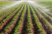 stock photo of potato-field  - Potato field landscape with irrigation sprinkler watering the plants - JPG