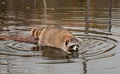 Raccoon (Procyon lotor) Cautiously Climbs Off Log Into Water