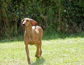 image of scenthound  - A young beautiful fawn red brown smooth coated Segugio Italiano dog running on the grass - JPG