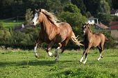 picture of mare foal  - Mare with foal running on pasturage in autumn - JPG