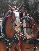 stock photo of clydesdale  - Couple of Clydesdale brown horses in one harness portrait - JPG
