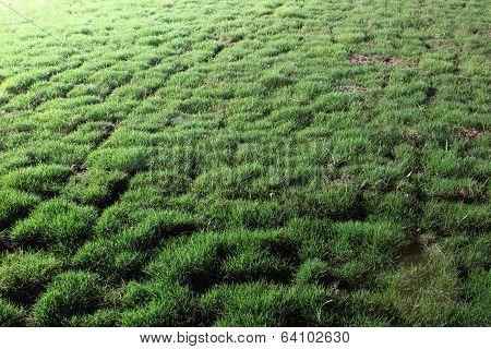 Night Lawn