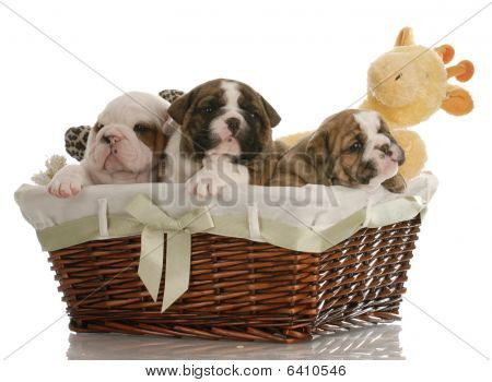 Bulldog Puppies In A Basket