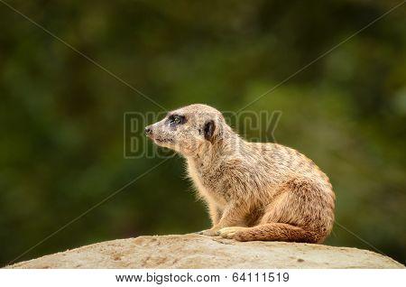 Suricate Meerkat - Suricata Suricatta