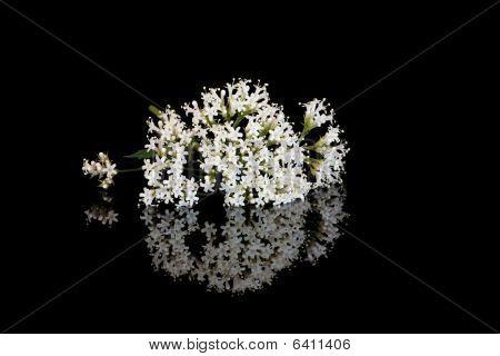 Valerian bloemen
