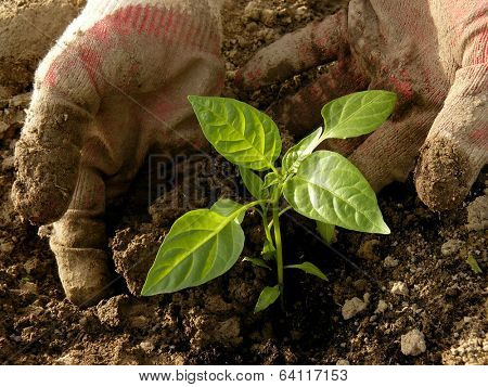 hands planting sweet pepper seedlings