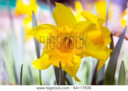 Daffodil flowers in the spring garden