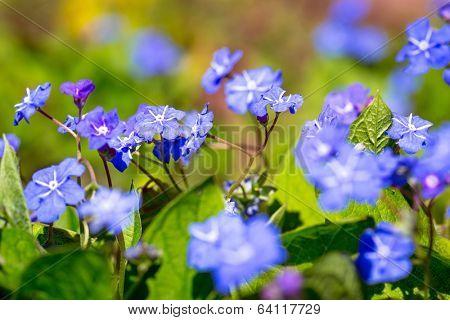 Evening stock flowers in the spring garden
