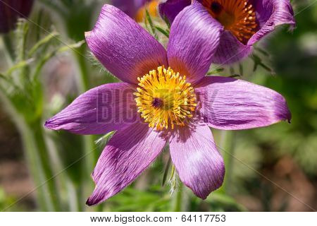 Pasque flowers in the spring garden