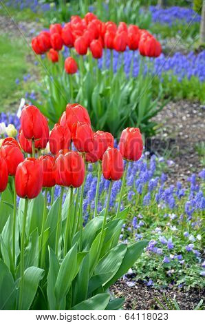 Red Spring Tulips And Bluebells
