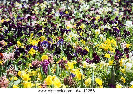 Pelargonium Field