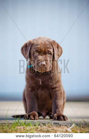 adorable brown labrador retriever puppy