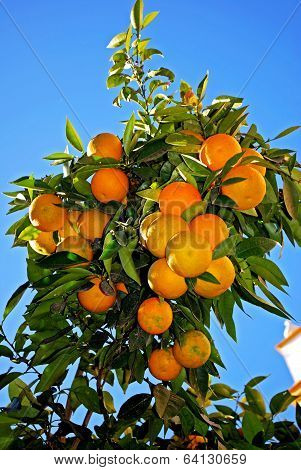 Ripe Seville oranges on tree, Seville.