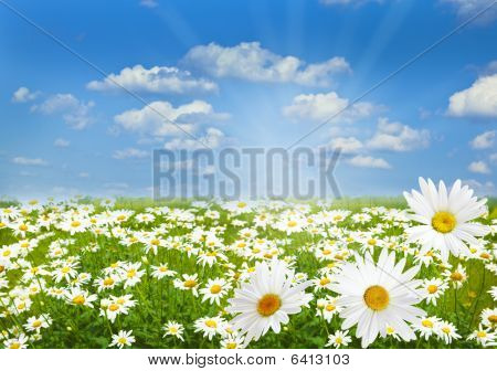 Daisy Marguerite Field