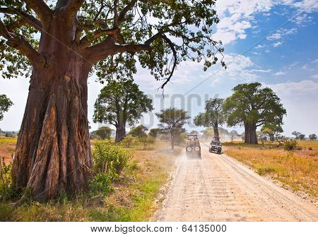 Huge African trees and safari jeeps in Tanzania, Africa.