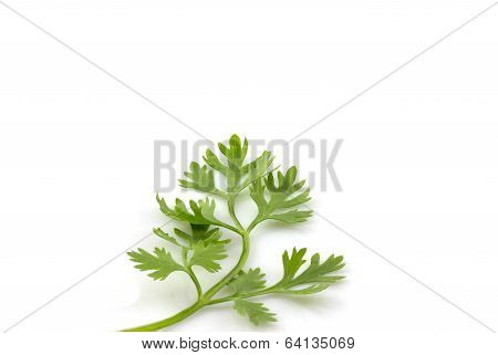 Fresh Coriander Leaves isolate