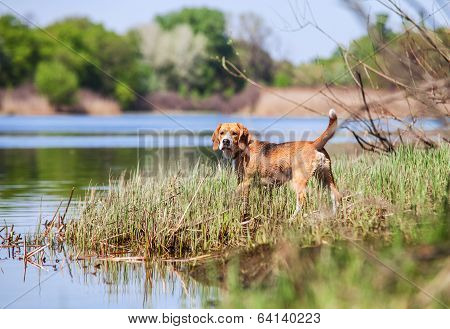 Beagle- Hunter Dog On The River Coast