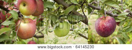 Apple Assortment Panarama