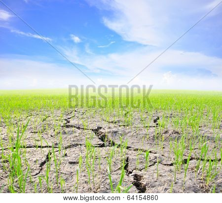 Agriculture Paddy Field