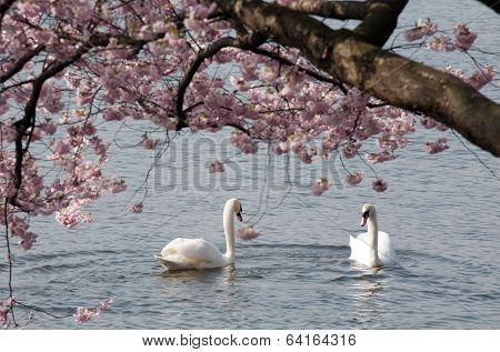 Two White Swans Under Blooming Tree