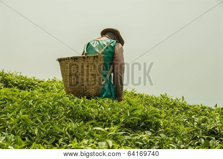 Man walking through the tea plantation.