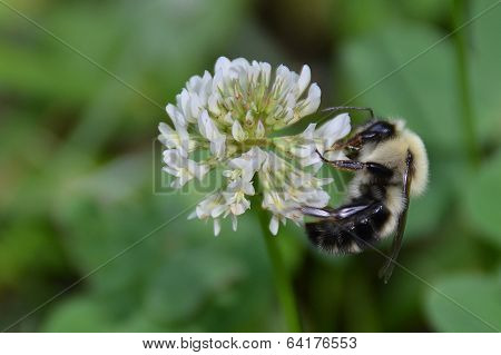 Bumble Bee on clover blossom