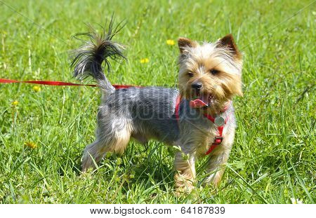 Yorkshire terrier outside on walk