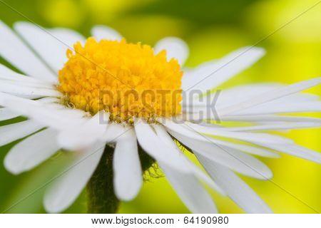 Daisy (leucanthemum Vulgare)