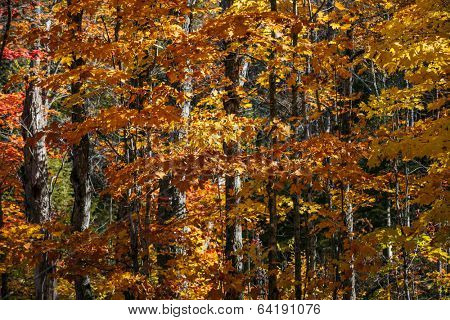Autumn maple trees with orange foliage in sunny fall forest of Algonquin provincial park, Ontario, Canada.