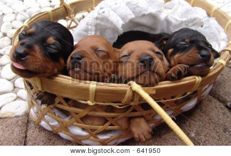 Four Pinscher Puppies