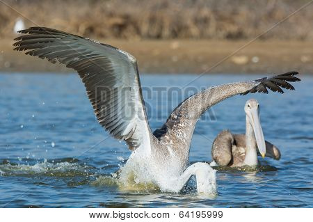 Pink-backed Pelican With Its Head Under Water Catching Fish